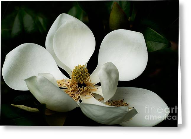 Spring Tapestries - Textiles Greeting Cards - Magnolia Time Greeting Card by James Hennis