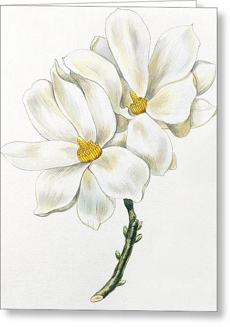 Magnoliaceae Greeting Cards - Magnolia Greeting Card by Unknown