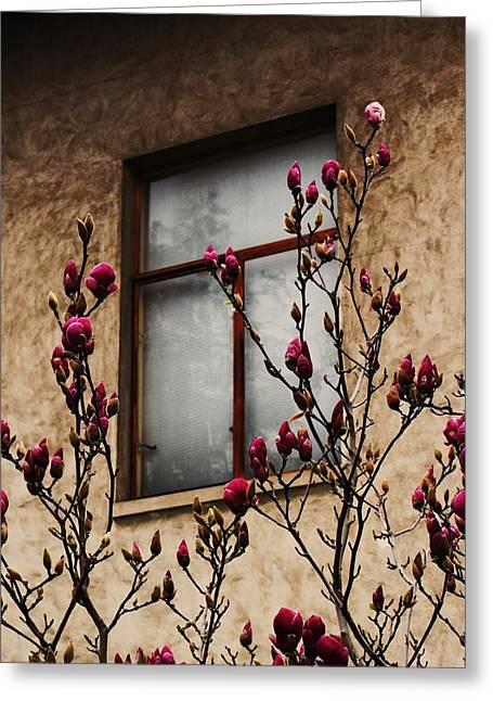 Magnolias Before Window Greeting Card by Amy Neal