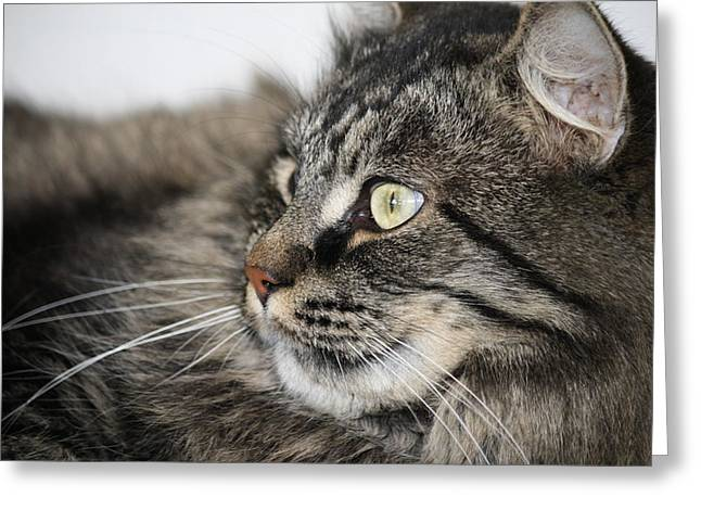 Maine Coon Cat Greeting Card by Mary-Lee Sanders