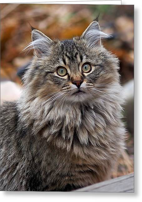 Cats Greeting Cards - Maine Coon Cat Greeting Card by Rona Black