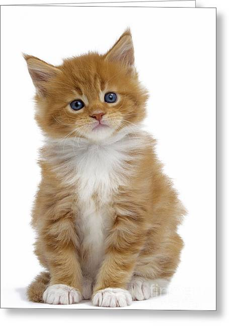 Head Tilt Greeting Cards - Maine Coon Kitten Greeting Card by Jean-Michel Labat