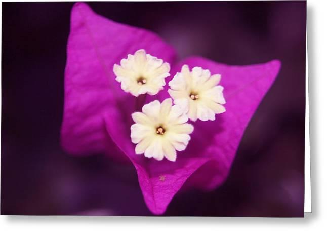 Majenta Greeting Cards - Majenta  Flower Greeting Card by Sheri Toro