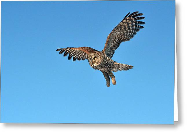 Hunting Bird Greeting Cards - Majestic Flight Greeting Card by Asbed Iskedjian