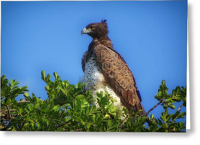 Martial Eagle Greeting Cards - Majestic Martial Eagle Greeting Card by M Scheller
