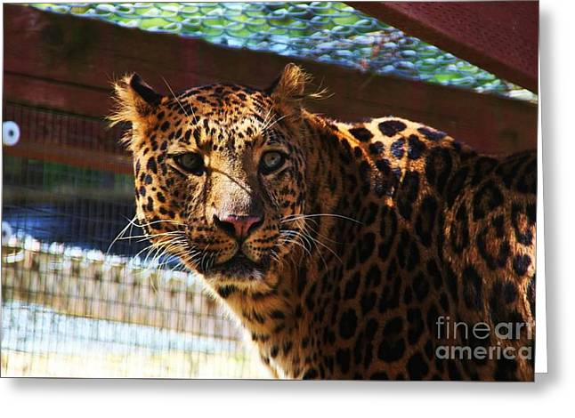 Jaguars Greeting Cards - Majestic Greeting Card by Tiare Pitzer