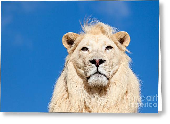 Felines Photographs Greeting Cards - Majestic White Lion Greeting Card by Sarah Cheriton-Jones