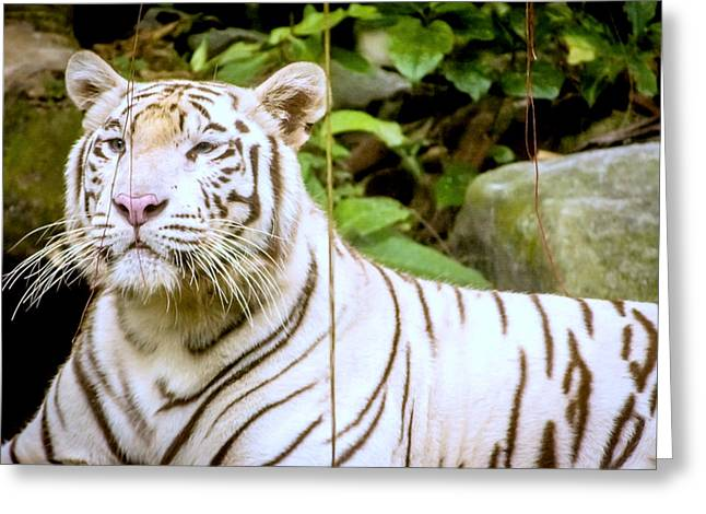 The Tiger Greeting Cards - Majestic White Tiger Greeting Card by Jijo George