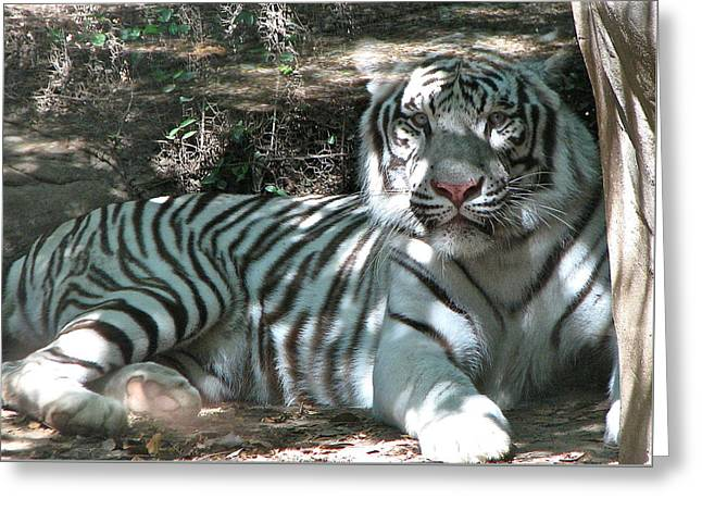 The Tiger Greeting Cards - Majestic White Tiger Under Tree  Greeting Card by Patti Adkins