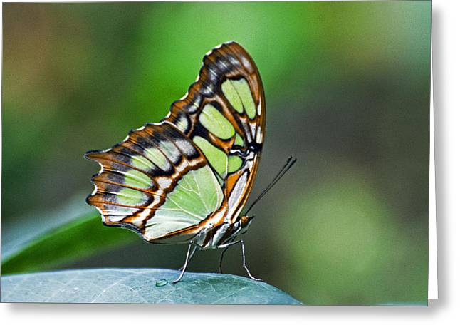 Malachite Butterfly Greeting Card by Cheryl Cencich