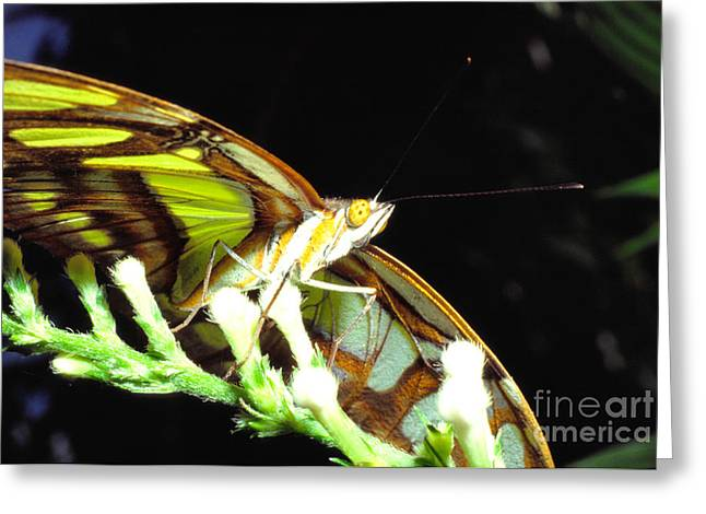 Yunque Greeting Cards - Malachite Butterfly Greeting Card by Thomas R Fletcher