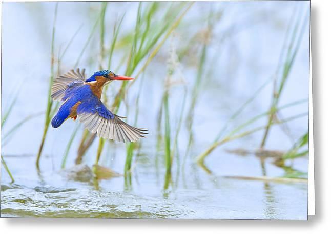 Bird Digital Art Greeting Cards - Malachite Kingfisher Dive Greeting Card by Basie Van Zyl