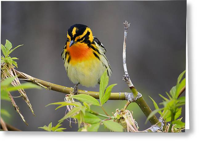 Male Blackburnian Warbler Greeting Card by Gary Hall