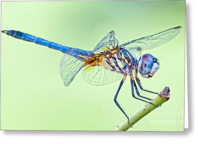 Dragonfly Macro Greeting Cards - Male Blue Dasher Dragonfly Greeting Card by Bonnie Barry