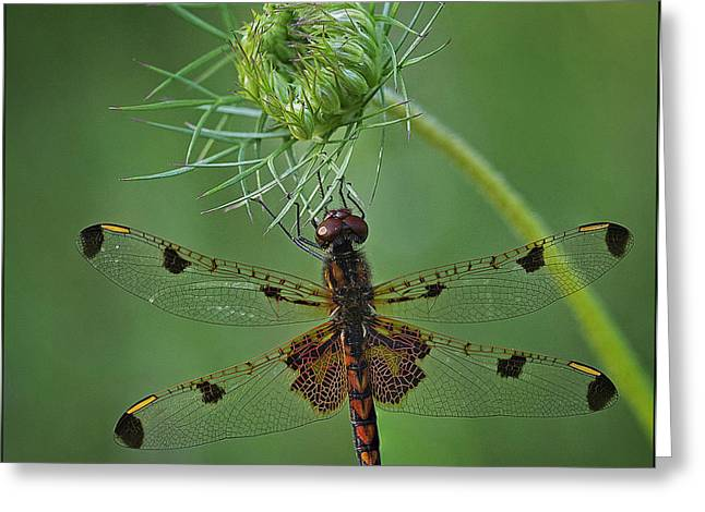 Patch Greeting Cards - Male Calico Pennant Dragonfly Greeting Card by Denise Saldana