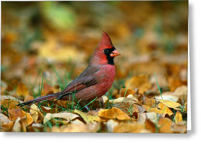 Cardinals. Wildlife. Nature. Photography Greeting Cards - Male Cardinal Cardinalis Cardinalis Greeting Card by Panoramic Images