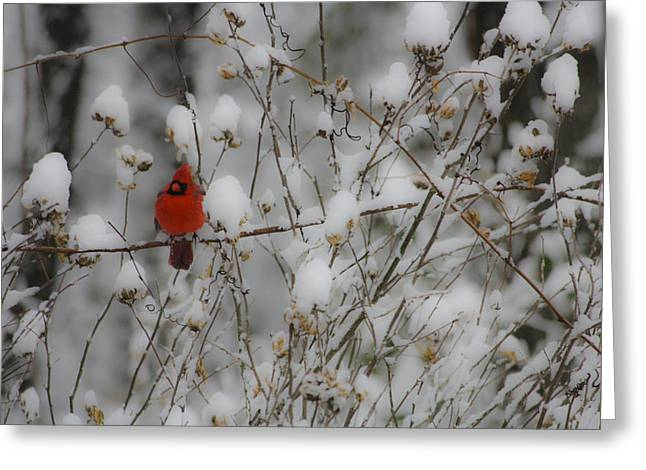 Virginia Greeting Cards - Male Cardinal in the Snow Greeting Card by Teresa Mucha