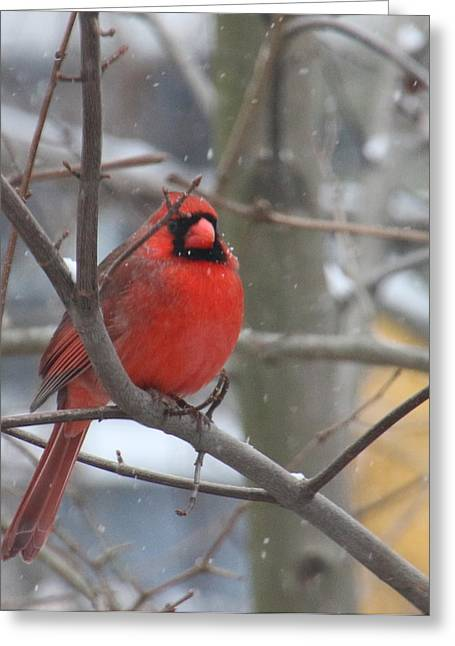 Stein Greeting Cards - Male Cardinal in tree winter. Greeting Card by Valerie Stein