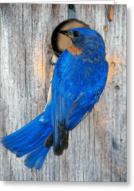 Eastern Bluebird Greeting Cards - Male Eastern Bluebird Sialia Sialis On Greeting Card by Panoramic Images
