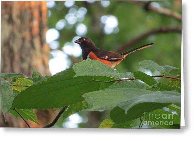 Photos With Red Greeting Cards - Male Eastern Towhee Greeting Card by Charles Green