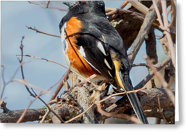Sparrow Greeting Cards - Male Eastern Towhee Square Greeting Card by Bill Wakeley
