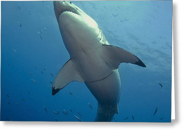 Male Great White Sharks Belly Greeting Card by Todd Winner