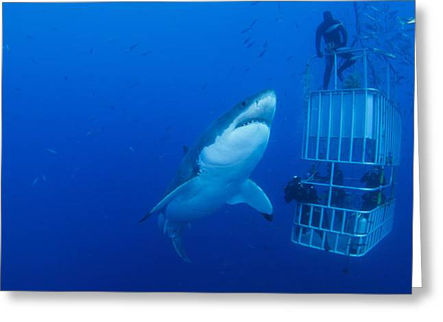 Male Great White With Cage, Guadalupe Greeting Card by Todd Winner