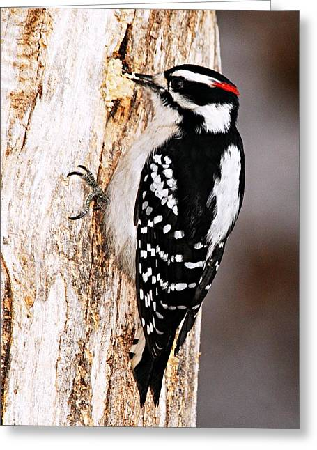Hairy Woodpecker Greeting Cards - Male Hairy Woodpecker Greeting Card by Larry Ricker