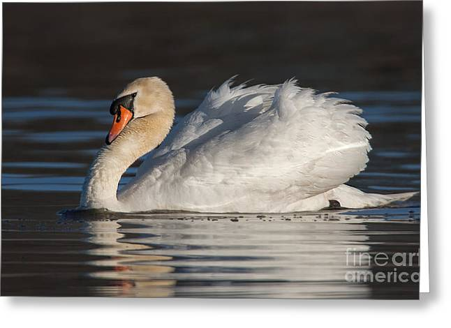Swans... Greeting Cards - Male Mute Swan Displaying Greeting Card by Jerry Fornarotto