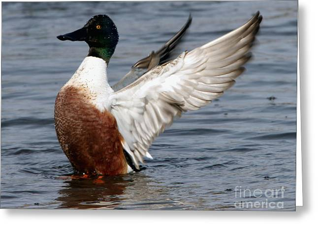 Morgan Hill Greeting Cards - Male Northern Shoveler wing flapping Greeting Card by Morgan Hill