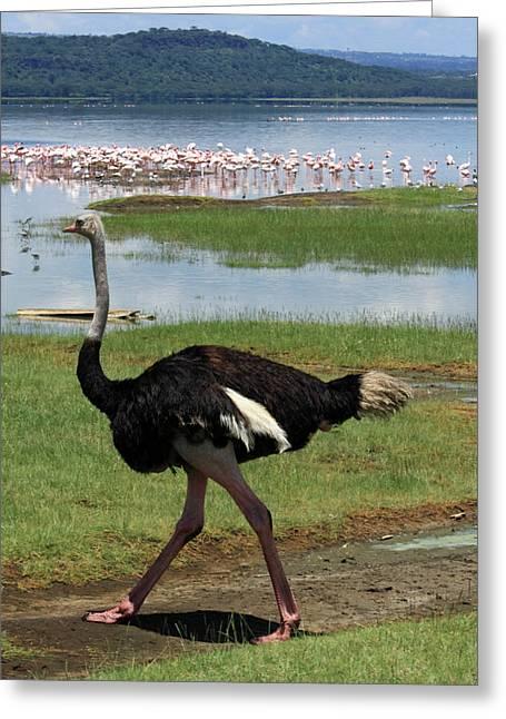 Male Ostrich Greeting Card by Aidan Moran