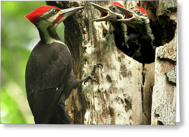 Male Pileated Woodpecker at nest Greeting Card by Mircea Costina Photography