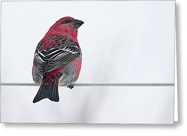 Male Pine Grosbeak Greeting Card by Maggie Terlecki