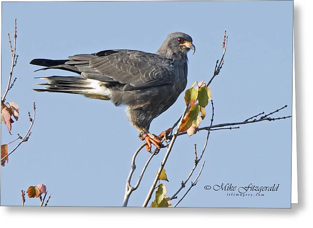 Kite Greeting Cards - Male Snail Kite Poses Greeting Card by Mike Fitzgerald
