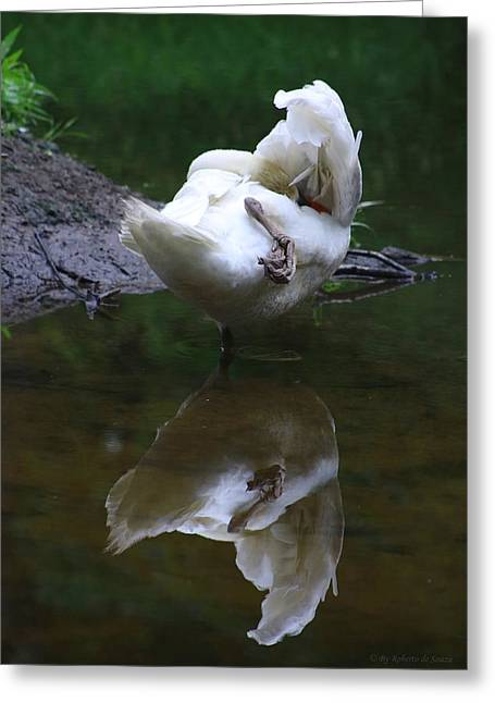 Swans... Greeting Cards - Male Swan Cleaning himself Greeting Card by Roberto De Souza
