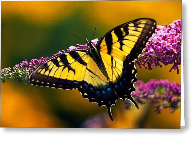 Spreading Greeting Cards - Male Tiger Swallowtail Butterfly On Greeting Card by Panoramic Images