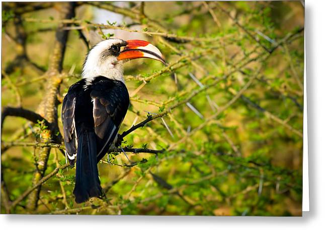 Aviary Greeting Cards - Male Von Der Deckens Hornbill Greeting Card by Adam Romanowicz