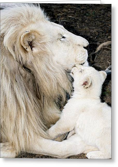 Bred Photographs Greeting Cards - Male White Lion And Cub Greeting Card by Tony Camacho