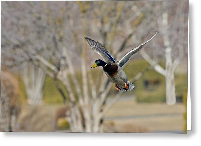 Mallards Greeting Cards - Mallard Approach Greeting Card by Mike  Dawson