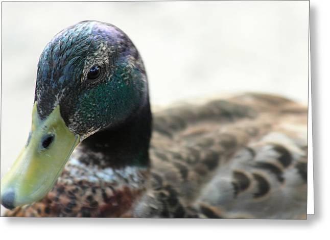 Water Fowl Greeting Cards - Mallard Greeting Card by David Stasiak