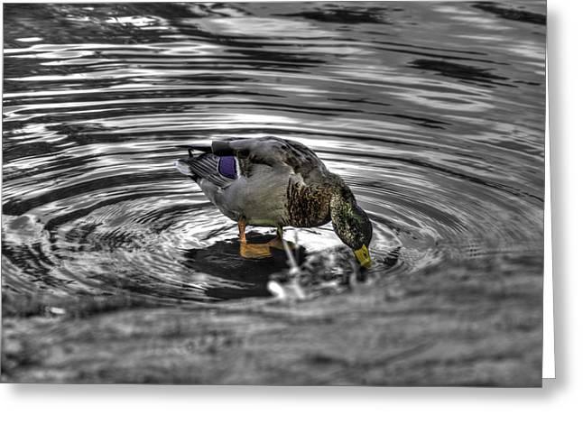 Aquatic Greeting Cards - Mallard Duck a2 Greeting Card by John Straton