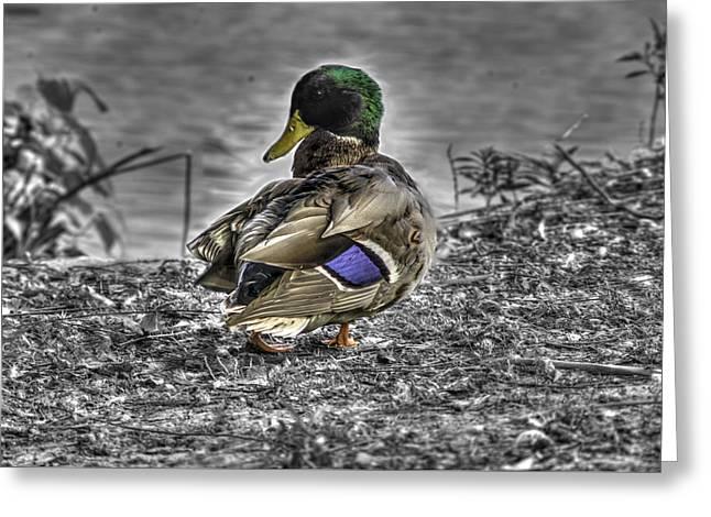 Aquatic Greeting Cards - Mallard Duck a3 Greeting Card by John Straton