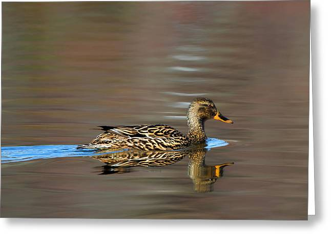 Reflection Photographs Greeting Cards - Mallard Duck Hen Greeting Card by Bill Wakeley