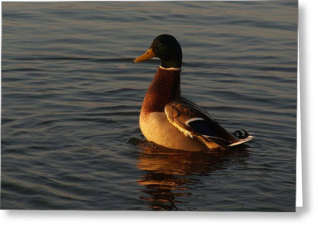 Hunting Bird Greeting Cards - Mallard Duck lit by the golden Light Greeting Card by Asbed Iskedjian