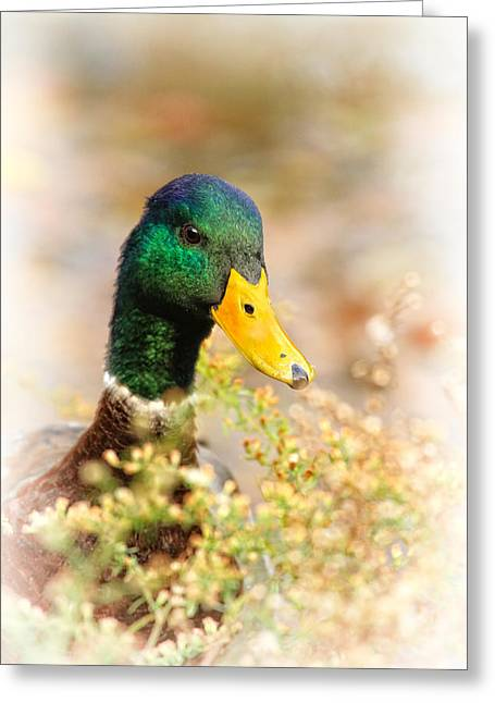 Drake In The Flowers Greeting Card by Karol Livote