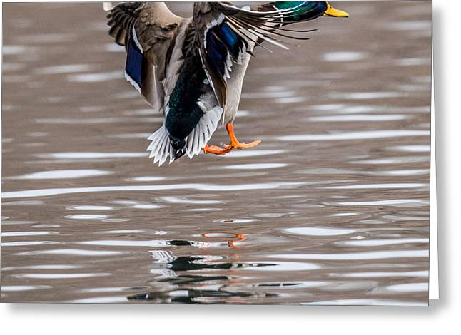 Hunting Cabin Photographs Greeting Cards - Mallard Incoming Greeting Card by Paul Freidlund