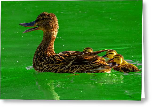 Water Fowl Greeting Cards - Mallard Mom 2 Greeting Card by Brian Stevens