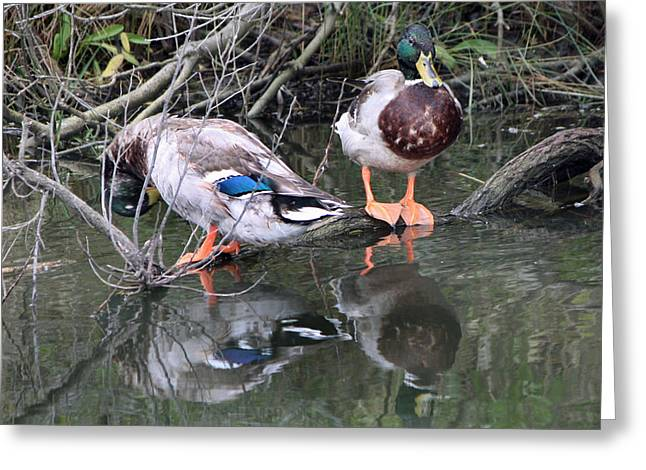 Hunting Bird Greeting Cards - Mallards Greeting Card by Captain Debbie Ritter
