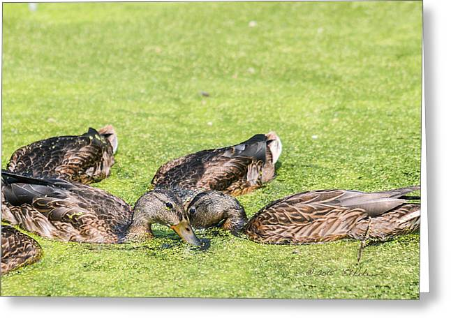 Aquatic Greeting Cards - Mallards Coming Up For Air Greeting Card by Edward Peterson