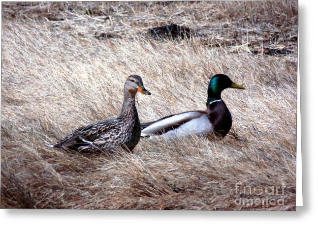 Cut-outs Greeting Cards - Mallards Enjoying The Warmth Greeting Card by Marcia Lee Jones